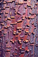 Madrone Tree Bark Abstract pattern Fine-Art Print