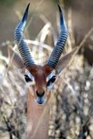 Male Gerenuki with Large Eyes and Curved Horns, Kenya Fine-Art Print