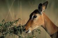 Kenya, Lake Nakuru NP, Impala wildlife Fine-Art Print