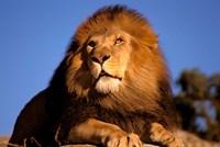 Lion, Masai Mara, Kenya Fine-Art Print
