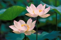 Lotus Flower in Blossom, China Fine-Art Print