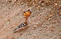 Madagascar. Madagascar Hoopoe, endemic bird Fine-Art Print