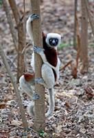 Madagascar, Ankarafantsika Coquerels Sifaka primate Fine-Art Print