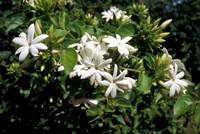 Jasmine Flowers in Bloom, Madagascar Fine-Art Print