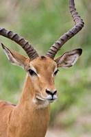 Male Impala, Tanzania Fine-Art Print