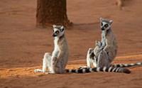 Madagascar, Berenty Reserve. Ring-tailed Lemurs Fine-Art Print