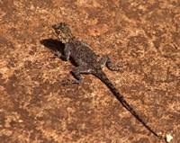 Malawi; Zomba; Brown lizard, Zomba Mountain Lodge Fine-Art Print