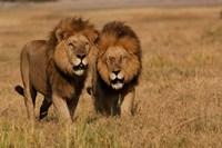 Lions, Duba Pride Males, Duba Plains, Okavango Delta, Botswana Fine-Art Print