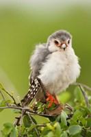 Pygmy Falcon, Samburu Game Reserve, Kenya Fine-Art Print