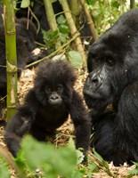 Adult and baby Gorilla, Volcanoes National Park, Rwanda Fine-Art Print
