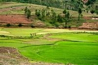 People working in green rice fields, Madagascar Fine-Art Print