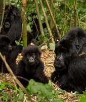 Group of Gorillas, Volcanoes National Park, Rwanda Fine-Art Print