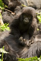 Baby Mountain Gorilla, Volcanoes National Park, Rwanda Fine-Art Print