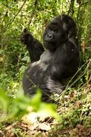 Gorilla holding a vine, Volcanoes National Park, Rwanda Fine-Art Print
