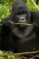 Gorilla chewing, Volcanoes National Park, Rwanda Fine-Art Print