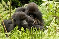 Pair of Gorillas, Volcanoes National Park, Rwanda Fine-Art Print
