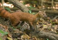 N. Ringtail Mongoose wildlife, Ankarana NP, Madagascar Fine-Art Print