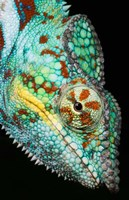 Panther Chameleon, Western Madagascar Fine-Art Print