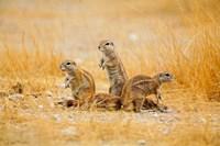 Namibia, Etosha NP. Cape Ground Squirrel Fine-Art Print
