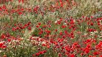 Poppy Wildflowers in Southern Morocco Fine-Art Print