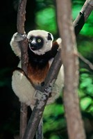 Propithecus sifaka lemur, Madagascar Fine-Art Print
