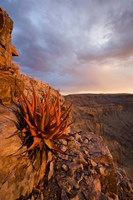 Namibia, Fish River Canyon National Park, close up of adesert plant Fine-Art Print