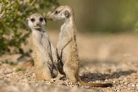 Namibia, Keetmanshoop, Namib Desert, Pair of Meerkats Fine-Art Print