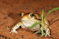 Red Toad, Mkuze Game Reserve, South Africa Fine-Art Print