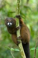 Primate, Red-bellied Lemur, Mantadia NP, Madagascar Fine-Art Print