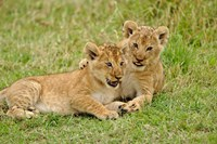 Pair of lion cubs playing, Masai Mara Game Reserve, Kenya Fine-Art Print