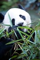 Panda bear, Panda reserve Fine-Art Print