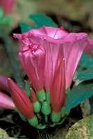 Pink Flower with buds, Gombe National Park, Tanzania Fine-Art Print