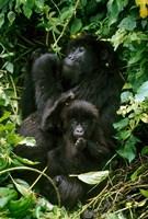 Mountain Gorillas, Parc N. Volcans, Rwanda Fine-Art Print
