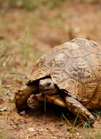 Mountain tortoise, Mkuze Game Reserve, South Africa Fine-Art Print
