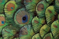 Peacock Feather Design Fine-Art Print