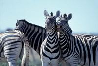 Plains Zebra Side By Side, Etosha National Park, Namibia Fine-Art Print