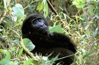 Mountain Gorilla, Bwindi Impenetrable Forest National Park, Uganda Fine-Art Print
