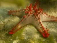 Red Knobbed Starfish, Madagascar, Africa Fine-Art Print
