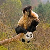 Panda Bear, Wolong Panda Reserve, China Fine-Art Print