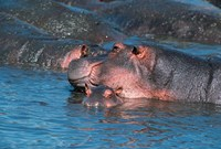 Mother and Young Hippopotamus, Serengeti, Tanzania Fine-Art Print