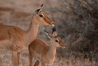 Mother and Young Impala, Kenya Fine-Art Print
