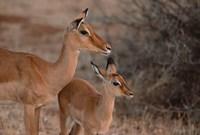 Mother and Young Impala, Kenya Fine-Art Print