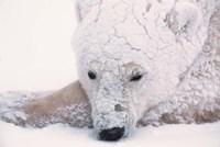Polar Bear on Hudson Bay, Churchill, Manitoba Fine-Art Print