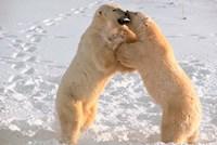 Polar Bears Sparring on Frozen Tundra of Hudson Bay, Churchill, Manitoba Fine-Art Print