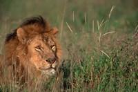 Head of Male African Lion, Tanzania Fine-Art Print