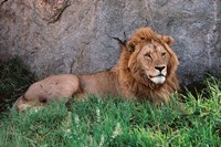 Portrait of Male African Lion, Tanzania Fine-Art Print
