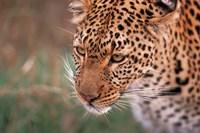 Samburu Leopard, Kenya Fine-Art Print