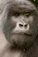 Close up of a Mountain gorilla, volcanoes national park, Rwanda Fine-Art Print
