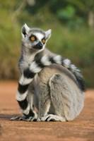Close up of Ring-tailed Lemur, Madagascar Fine-Art Print