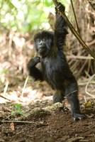 Rwanda, Mountain gorilla, volcanoes national park Fine-Art Print